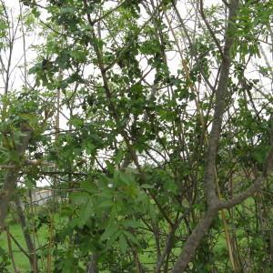 Photographie n°115163 du taxon Rosa L.