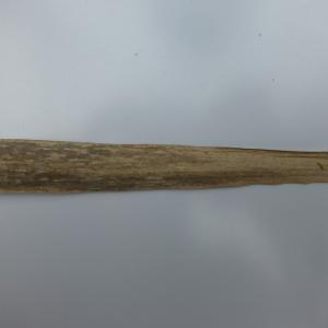 Photographie n°115168 du taxon Arundo donax L. [1753]
