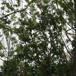 Photographie n°115169 du taxon Rosa L.