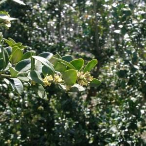 Photographie n°115270 du taxon Buxus sempervirens L.