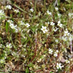 Photographie n°115273 du taxon Saxifraga granulata L.