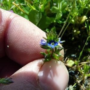Photographie n°115313 du taxon Veronica arvensis L.