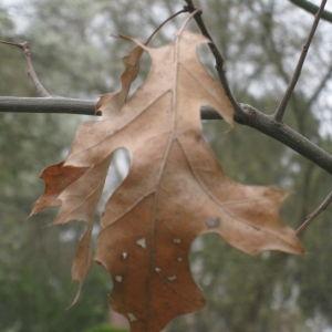Photographie n°115439 du taxon Quercus coccinea Münchh.