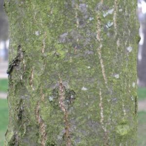 Photographie n°115440 du taxon Quercus coccinea Münchh.