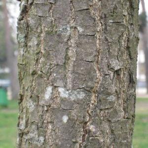 - Quercus coccinea Münchh.