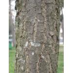 Quercus coccinea Münchh. (Chêne écarlate)