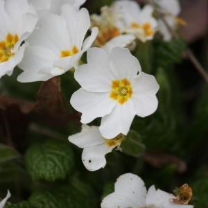 Primula vulgaris Huds. (Primevère acaule)