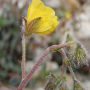 Helianthemum italicum (L.) Pers. [1806]