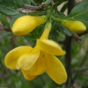 Photographie n°115657 du taxon Jasminum fruticans L. [1753]