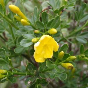Photographie n°115659 du taxon Jasminum fruticans L. [1753]
