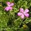 Alain Bigou - Dianthus deltoides L. [1753]