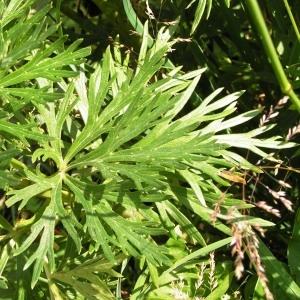 Photographie n°115745 du taxon Aconitum napellus L. [1753]