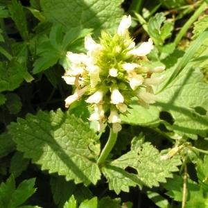 - Stachys alopecuros subsp. alopecuros