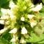Alain Bigou - Stachys alopecuros subsp. alopecuros