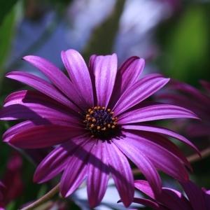Photographie n°115819 du taxon Asteraceae