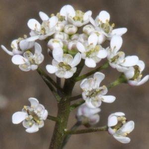 Teesdalia coronopifolia (J.P.Bergeret) Thell. (Téesdalie corne-de-cerf)