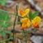 Jean-Claude Ernewein - Lotus alpinus (DC.) Schleich. ex Ramond