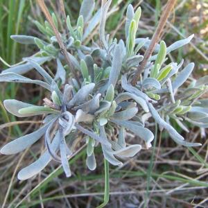 Photographie n°116092 du taxon Lavandula latifolia