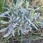 Mathieu Sinet - Lavandula latifolia