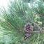 Mathieu Sinet - Pinus nigra subsp. nigra