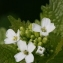 Hervé GOËAU - Alliaria petiolata (M.Bieb.) Cavara & Grande