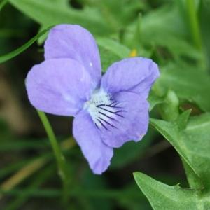 Photographie n°116354 du taxon Viola riviniana Rchb.