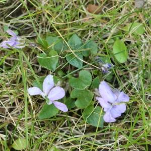 Photographie n°116367 du taxon Viola riviniana Rchb.