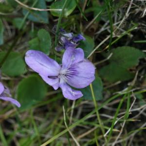 Photographie n°116373 du taxon Viola riviniana Rchb.