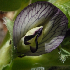 Vicia narbonensis L. (Fève des chevaux)