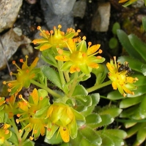 Saxifraga aizoides L. (Saxifrage faux orpin)