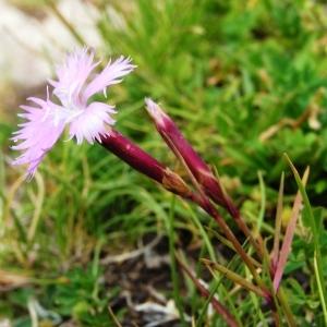 Dianthus gallicus Pers. [1805] (Oeillet de France)