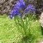 Alain Bigou - Iris latifolia (Mill.) Voss