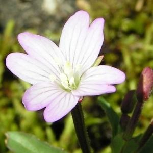 Epilobium alsinifolium Vill. (Épilobe à feuilles d'alsine)