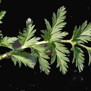 Photographie n°116537 du taxon Erodium moschatum (L.) L'Hér. [1789]