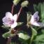 Liliane Roubaudi - Erodium moschatum (L.) L'Hér. [1789]
