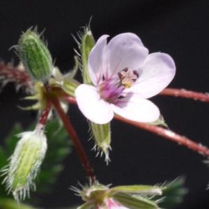 Photographie n°116540 du taxon Erodium moschatum (L.) L'Hér. [1789]