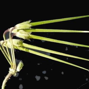 Photographie n°116541 du taxon Erodium moschatum (L.) L'Hér. [1789]