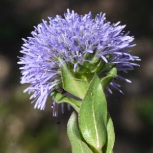 Globularia bisnagarica L. (Globulaire allongée)