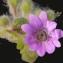 Liliane Roubaudi - Geranium molle L.