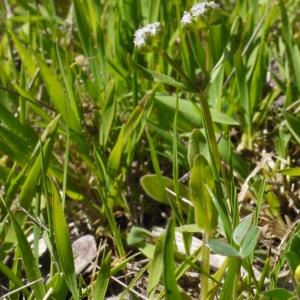 Photographie n°116651 du taxon Valerianella eriocarpa Desv.