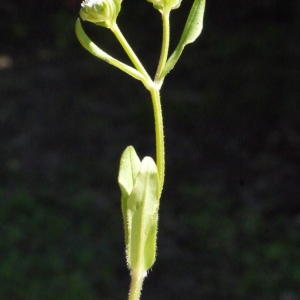 Photographie n°116653 du taxon Valerianella eriocarpa Desv.