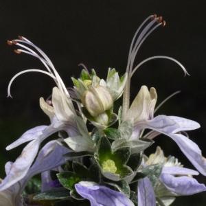 Teucrium fruticans L. (Germandrée arbustive)