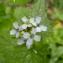 Mathieu Sinet - Alliaria petiolata (M.Bieb.) Cavara & Grande