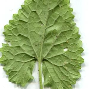 Photographie n°116776 du taxon Lunaria annua L.