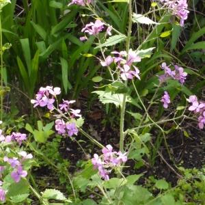 Photographie n°116778 du taxon Lunaria annua L.