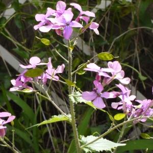 Photographie n°116780 du taxon Lunaria annua L.