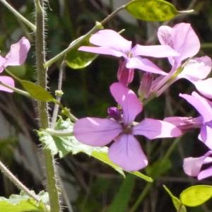 Photographie n°116781 du taxon Lunaria annua L.