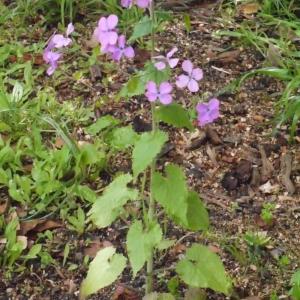 Photographie n°116788 du taxon Lunaria annua L.