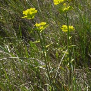 Photographie n°116792 du taxon Euphorbia serrata L. [1753]