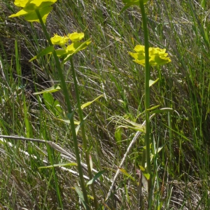 Photographie n°116797 du taxon Euphorbia serrata L. [1753]